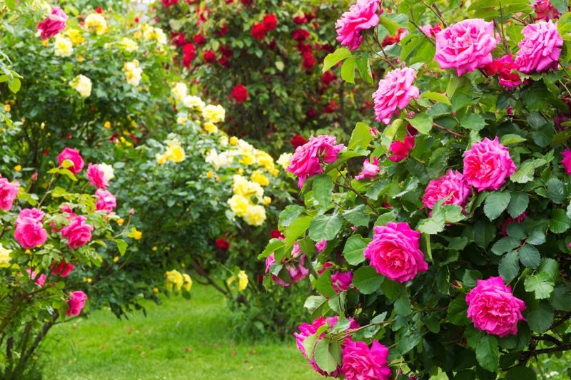 Taierea trandafirilor vara. Cateva sfaturi