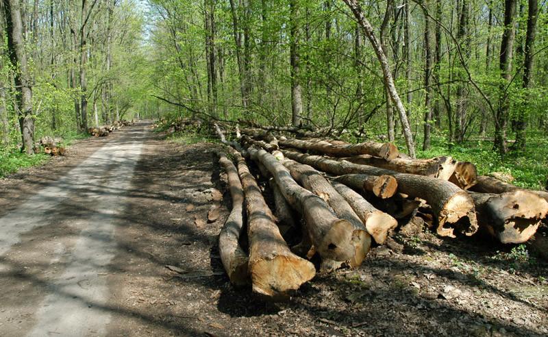 Bărbat prins în timp ce tăia ilegal copaci, la Motoşeni